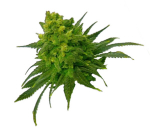 open a dispensary online course